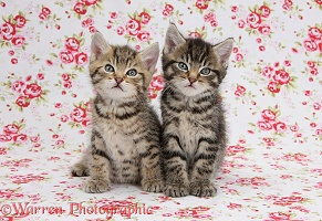 Two cute tabby kittens on flowery background