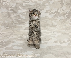 Cute tabby kitten on camouflage background