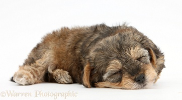 Sleepy Yorkipoo pup, 6 weeks old