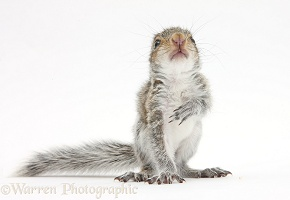 Young Grey Squirrel