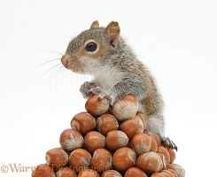 Young Grey Squirrel with pyramid of hazel nuts