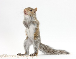 Young Grey Squirrel standing up