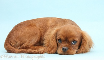 Ruby Cavalier King Charles Spaniel pup