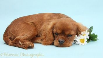 Sleepy Ruby Cavalier King Charles Spaniel pup