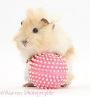 Young cinnamon-and-white Guinea pig with ball