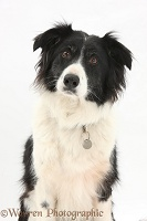 Black-and-white Border Collie with collar and name tag