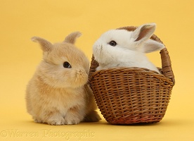 Sandy and white rabbits with basket