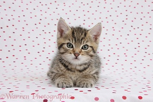 Cute tabby kitten on polka dot background
