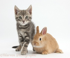 Tabby kitten with baby Netherland Dwarf rabbit