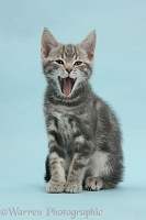 Tabby kitten yawning on blue background