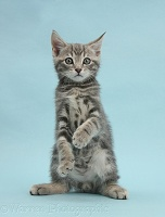 Tabby kitten on blue background