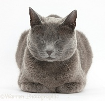 Russian Blue female cat dozing