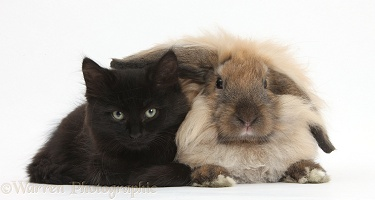 Fluffy black kitten and rabbit