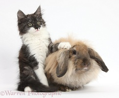 Fluffy dark silver-and-white kitten and rabbit