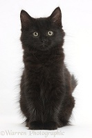 Fluffy black kitten, 9 weeks old, sitting