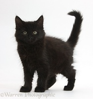 Fluffy black kitten, 9 weeks old, standing with tail erect