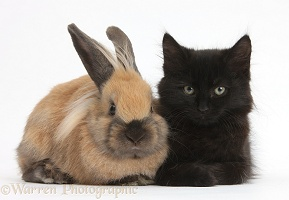 Fluffy black kitten, 9 weeks old, and young rabbit