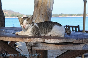 Knob-tailed cat on a beach-side table
