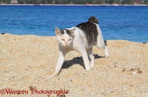 Knob-tailed cat walking on a beach