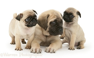 Fawn Pug pups with fawn English Mastiff pup