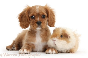Ruby Cavalier pup and shaggy Guinea pig