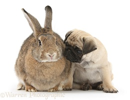 Fawn Pug pup, 8 weeks old, and agouti rabbit
