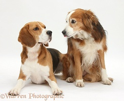Beagle and Border Collie