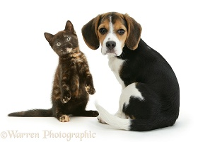 Beagle pup and playful chocolate-tortoiseshell kitten