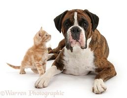 Boxer bitch and inquisitive ginger kitten