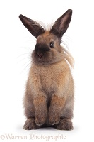 Lionhead-cross rabbit standing