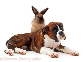 Brindle Boxer and bunny