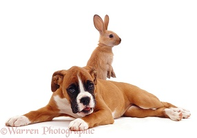 Boxer puppy with standing rabbit