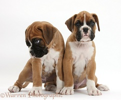 Two Boxer puppies sitting