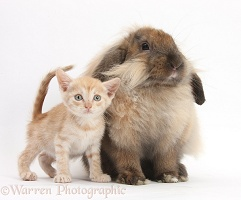 Ginger kitten and comical Lionhead-Lop rabbit