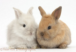 Two Baby Lionhead x Lop bunnies