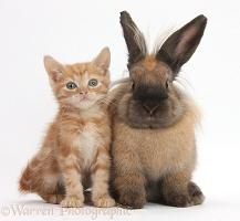 Ginger kitten and Lionhead-cross rabbit