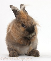 Comical Lionhead-cross rabbit grooming