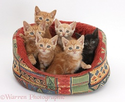 One black and five ginger kittens in a soft cat bed