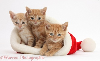 Three ginger kittens, 5 weeks old, in a Santa hat