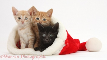 Three kittens, 5 weeks old, in a Santa hat