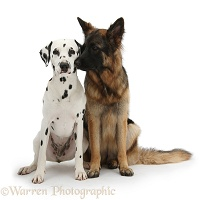Alsatian and Dalmatian