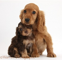 Cute Daxiedoodle and Golden Cocker Spaniel puppies