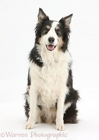 Border Collie dog, sitting