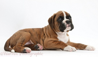 Cute Boxer puppy lying with head up