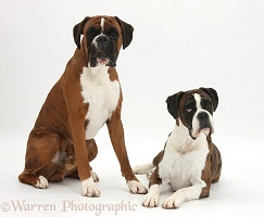 Boxer dog and bitch