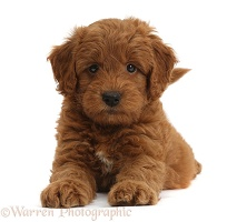 Cute playful red F1b Goldendoodle puppy