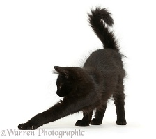 Fluffy black kitten, 12 weeks old, stretching