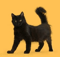 Fluffy black kitten, 12 weeks old, standing