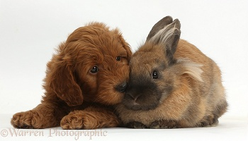 Red F1b Goldendoodle puppy and rabbit