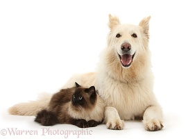 White Alsatian and Siamese cat